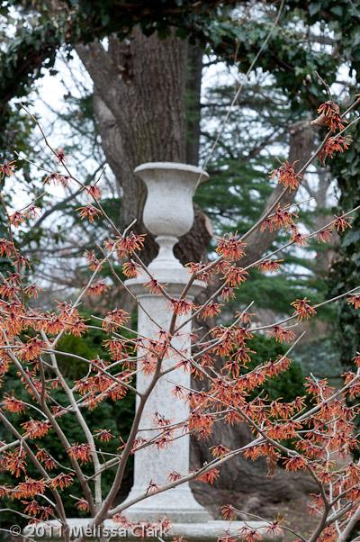 Hamamelis x intermedia, Dumbarton Oaks, winter shrubs