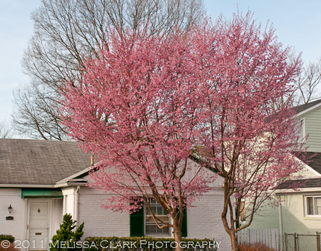 Prunus x incamp, Okame cherry
