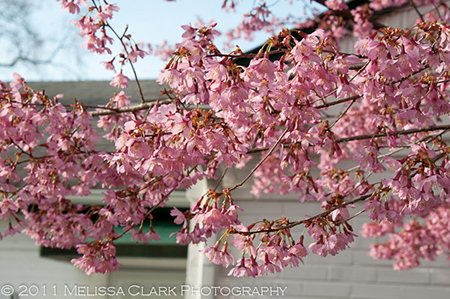 Prunus x incamp, Okame cherry, blossoms