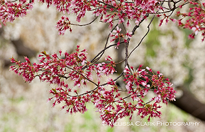 Prunus Okame, Prunus x incamp, calyx