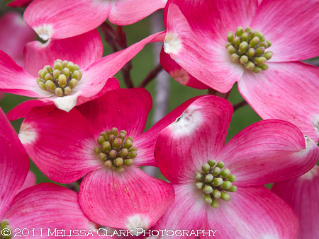 Cornus florida, flowering dogwood blossoms