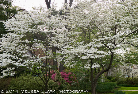 Cornus florida, white flowering dogwoods