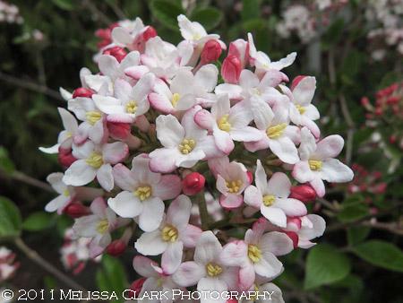 Viburnum Mohawk blooms
