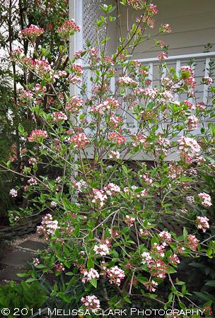 Viburnum x 'Mohawk', blooms