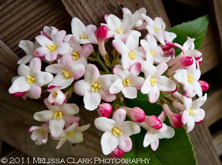 Viburnum x 'Mohawk' blooms