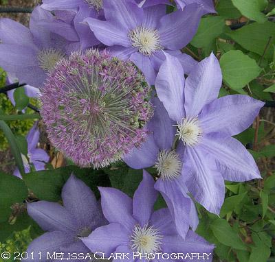 Clematis D.H. Young, blue clematis, allium