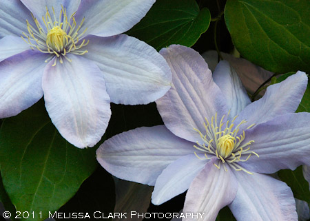 Clematis Silver Moon, shade clematis
