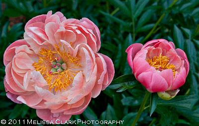Peony Itoh 'Coral Sunset,' intersectional peony, Gee Garden