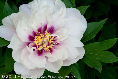Peony Itoh 'Cora Louise', intersectional peony, Gail Gee garden
