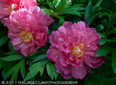Peony Itoh 'New Millenium', intersectional peony, Gail Gee garden