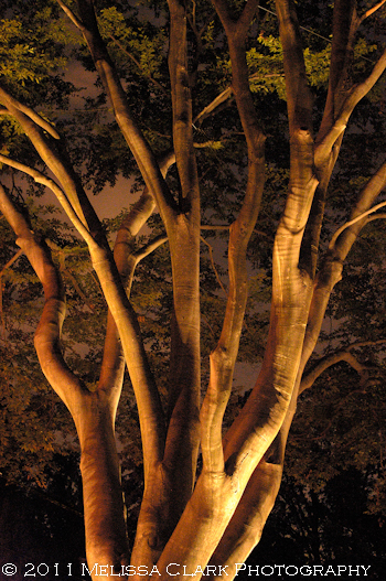 Fagus grandifolia, night lighting for trees