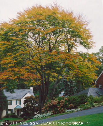 Fagus grandifolia, fall color