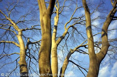 Fagus grandifolia, bark