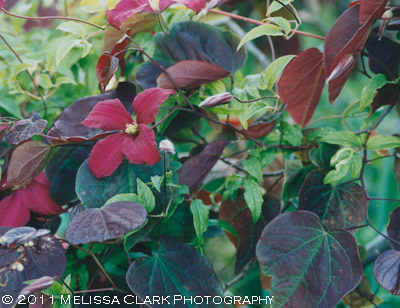 Clematis combinations, red clematis, Forest Pansy redbud tree
