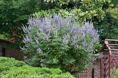 Vitex agnus-castus, chaste tree, William Paca House