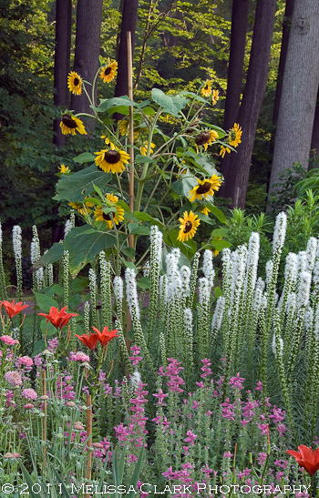 Chanticleer cutting garden, sunflowers