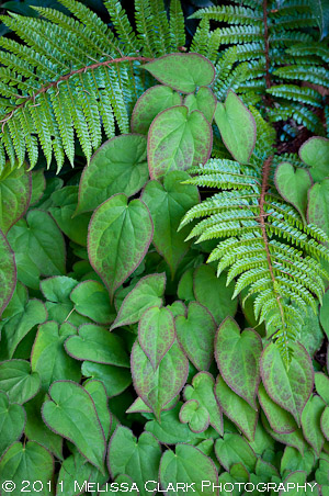epimediums, ferns, plant combinations