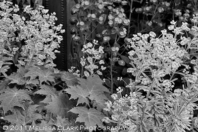 black and white garden photographs, euphorbia