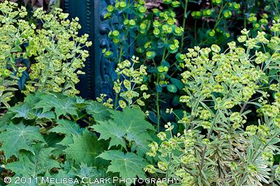 Euphorbia, plant combinations