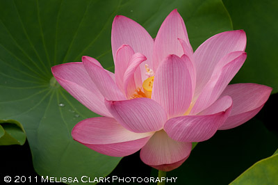 Lotus flower, summer
