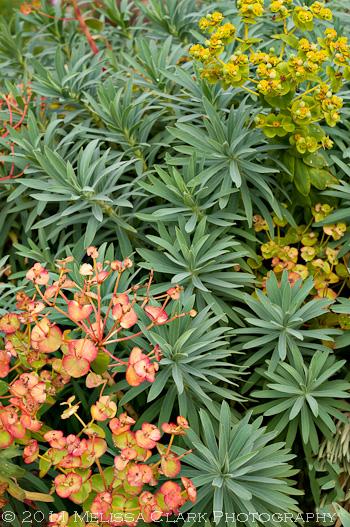 Oxford Botanic Garden, euphorbia