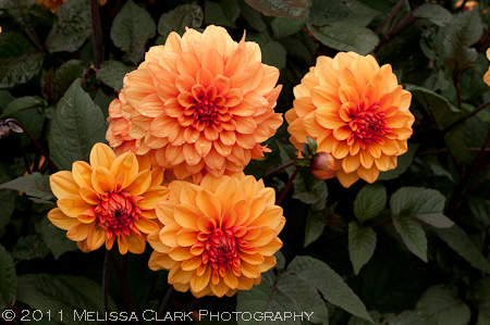 Oxford Botanic Garden, Autumn Border, Sandra Pope, Nori Pope, Dahlias