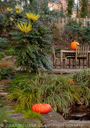 Mahonia x media 'Winter Sun', winter garden