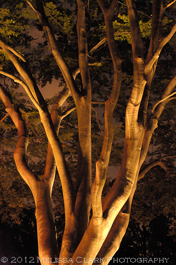 Fagus, beech tree, night lighting,