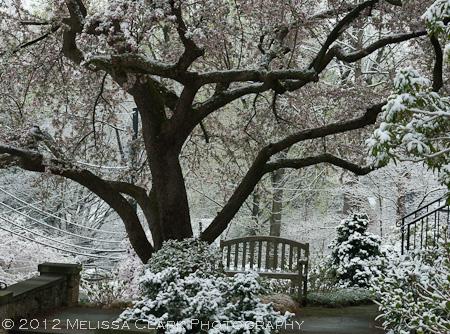 Daphe odora 'Aureomarginata', winter daphne