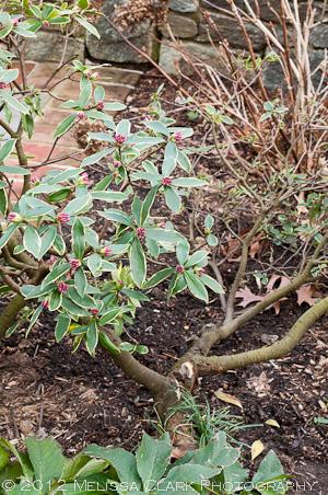 Daphne odora 'Aureomarginata', daphne growing sideways