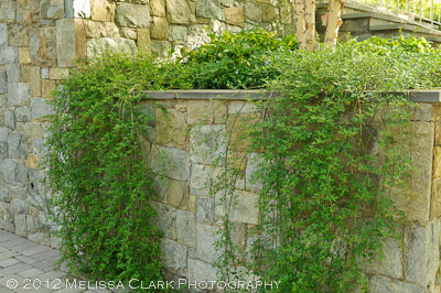 Jasminum nudiflorum, winter jasmine, stone walls