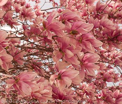 april in march magnolias on parade garden shoots. Black Bedroom Furniture Sets. Home Design Ideas
