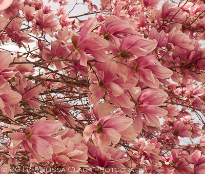 Magnolia soulangiana, saucer magnolia, pink flowers, spring
