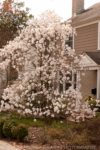 Magnolia stellata, star magnolia, 'Royal Star'