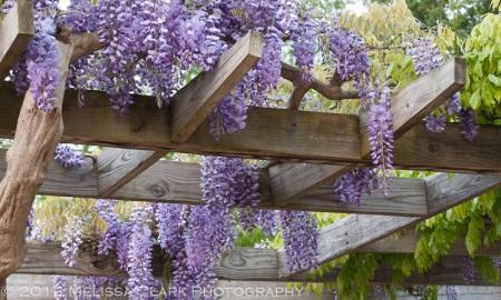 Wisteria floribunda, wisteria blooms, Brookside Gardens