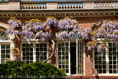 Wisteria floribunda, Dumbarton Oaks, L'Orangerie