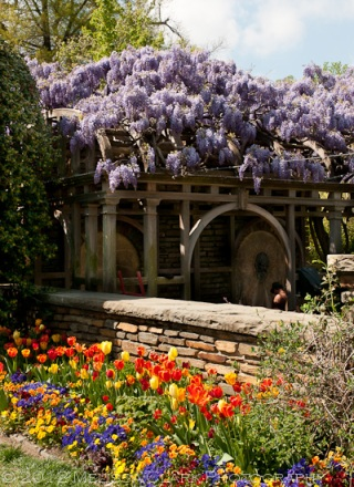 Wisteria floribunda, Dumbarton Oaks, Fountain Terrace