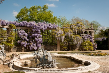 Dumbarton Oaks, Wisteria floribunda, Pebble Terrace