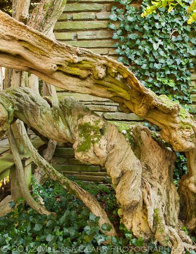 Wisteria floribunda, Dumbarton oaks