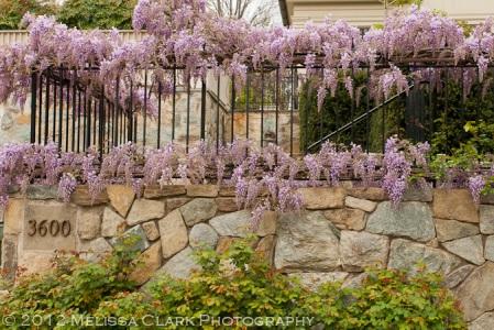 Wisteria floribunda, wisteria blooms