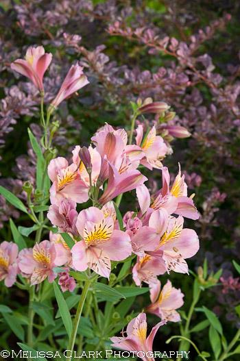 Gamble Garden, Palo Alto gardens, Alstroemaria