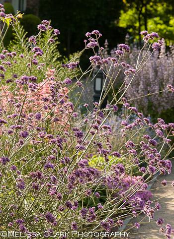 Gamble Garden, Palo Alto gardens, Verbena bonariensis