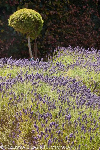Filoli Garden, lavender, knot garden