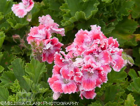Alcatraz Gardens, Garden Conservancy, pelargoniums