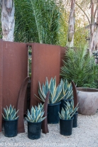 The store sells pots in varying sizes - simple in this case so as not to detract from the agaves planted in them.