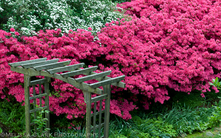 The old arbor and stand of azaleas in happier days.