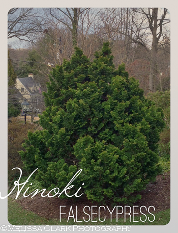 Hinoki falsecypress, Gold Medal plants, Pennsylvania Horticultural Society