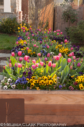 spring tulips, Landscape Projects Inc.
