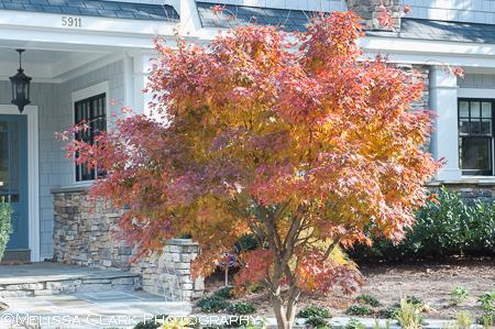 Acer palmatum 'Glowing Embers'
