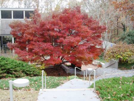 Acer palmatum 'Glowing Embers,' Georgia Gold Medal Winner 2005